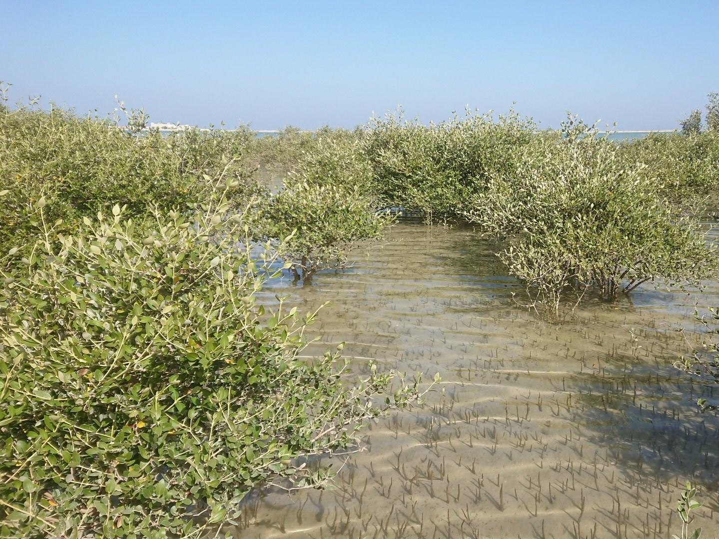 Vor 6.000 Jahren waren Mangroven