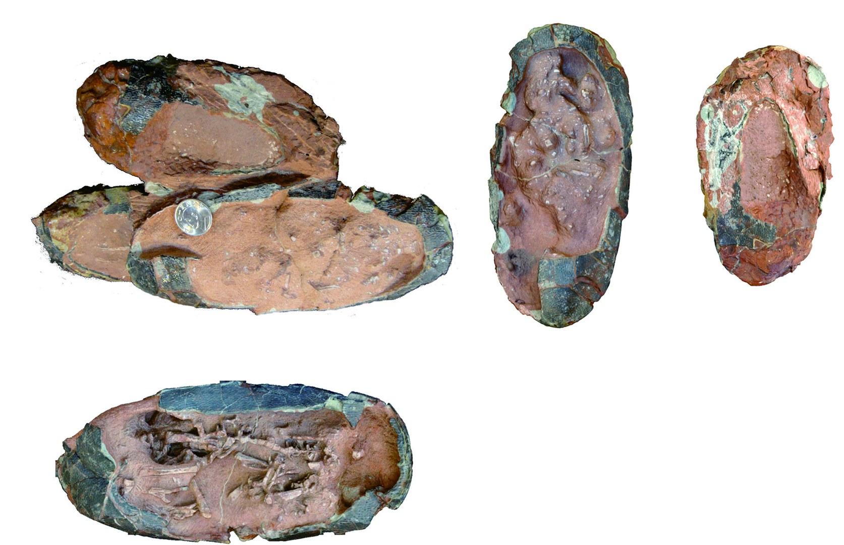 Fotos des Geleges mit drei Oviraptoren-Eiern