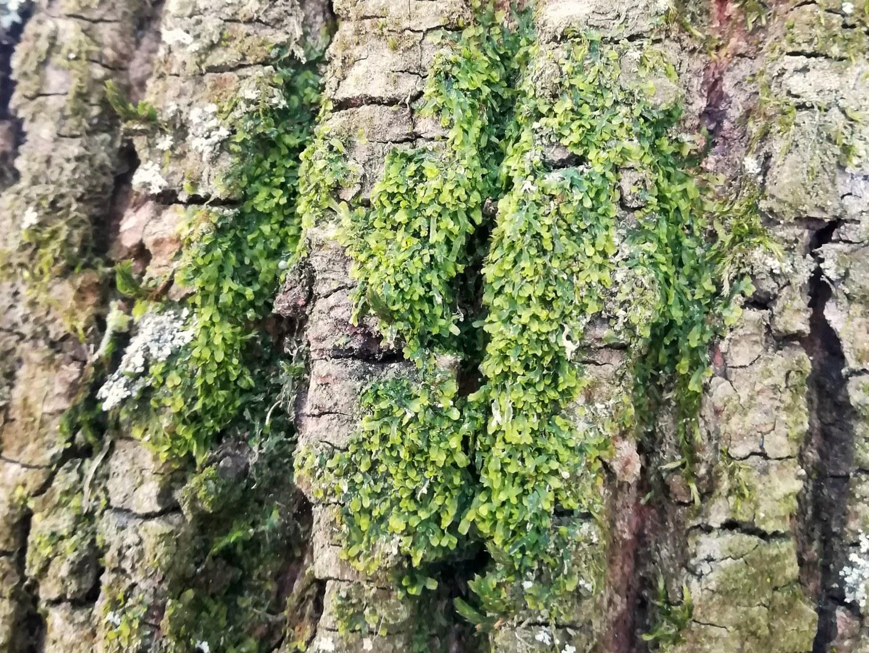 Das gewöhnliche Igelhaubenmoos (Metzgeria furcata)