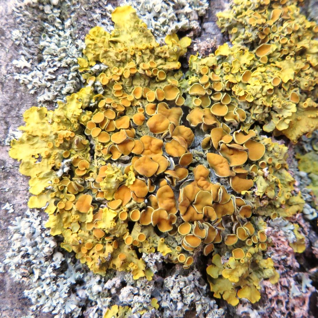 Die gewöhnliche Gelbflechte (Xanthoria parietina)