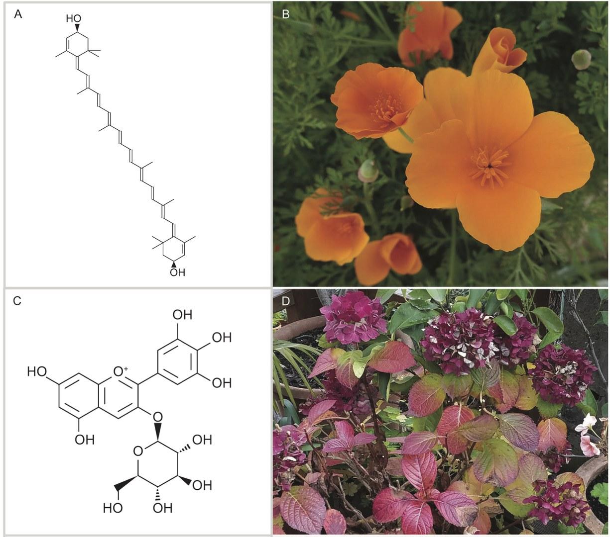 Zwei Beispiele von Pflanzenpigmenten, die sich möglicherweise im Fossilbericht finden lassen: