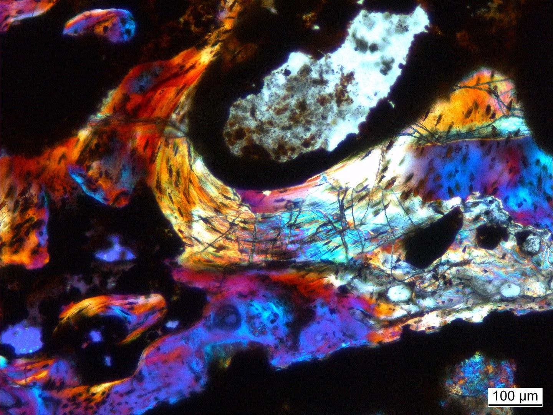 Knochenbälkchen von Dimetrodon