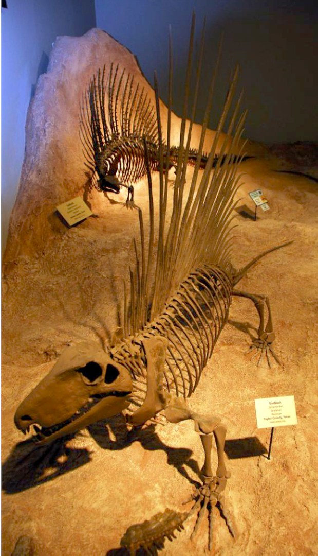 Skelette von Dimetrodon (Vordergrund) und Edaphosaurus
