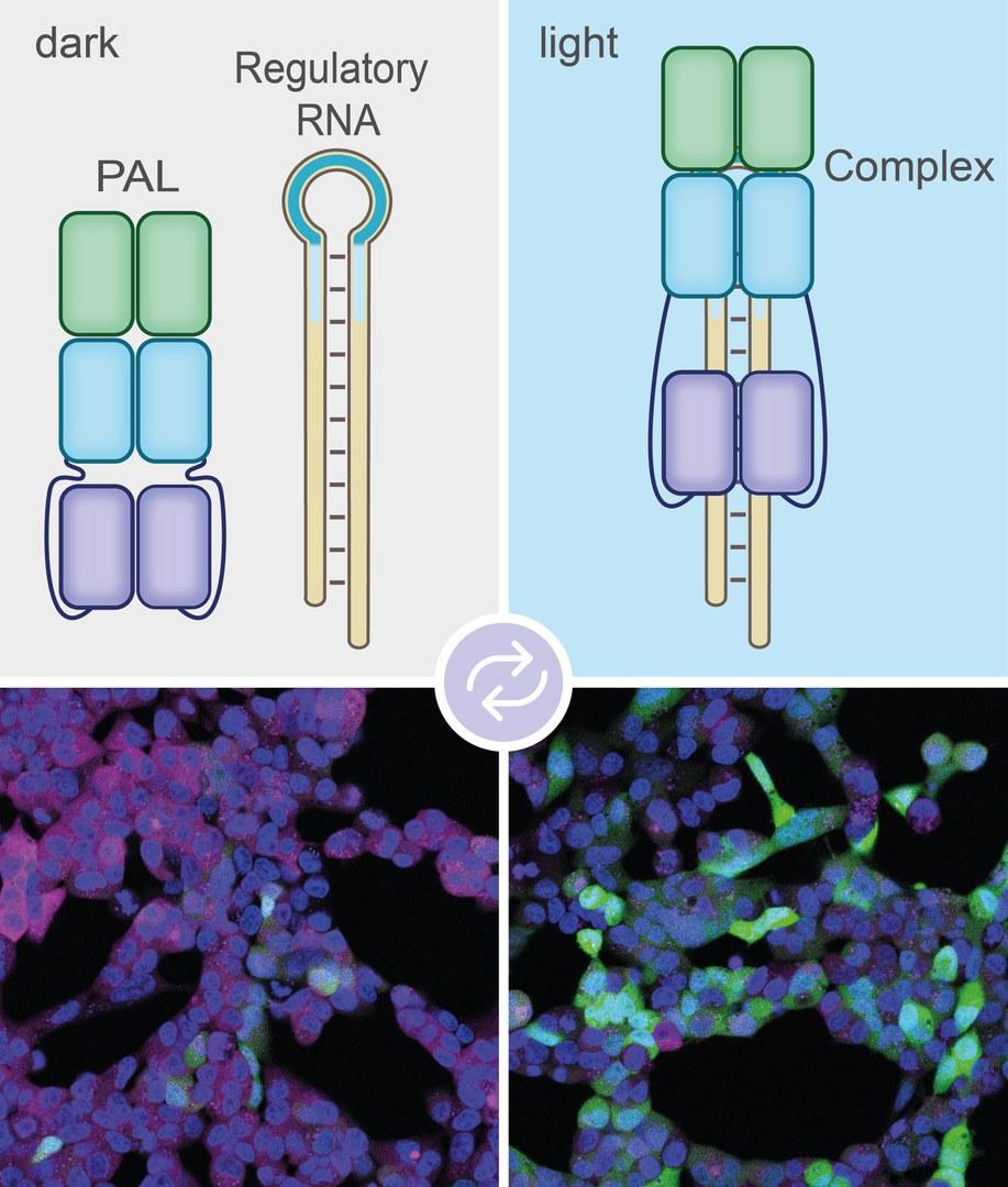 Bei Beleuchtung (rechts) bindet das PAL-Molekül