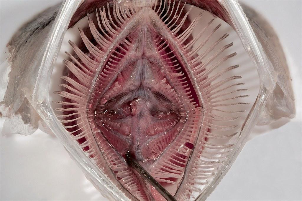 Blick ins geöffnete Maul einer Sardelle: