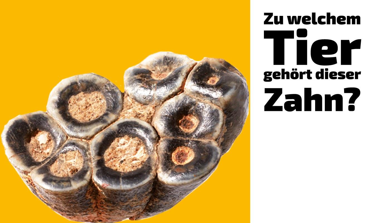 Zu welchem Tier gehört dieser Zahn (11)