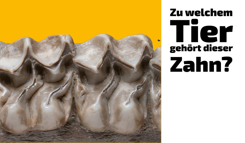 Zu welchem Tier gehört dieser Zahn (13)