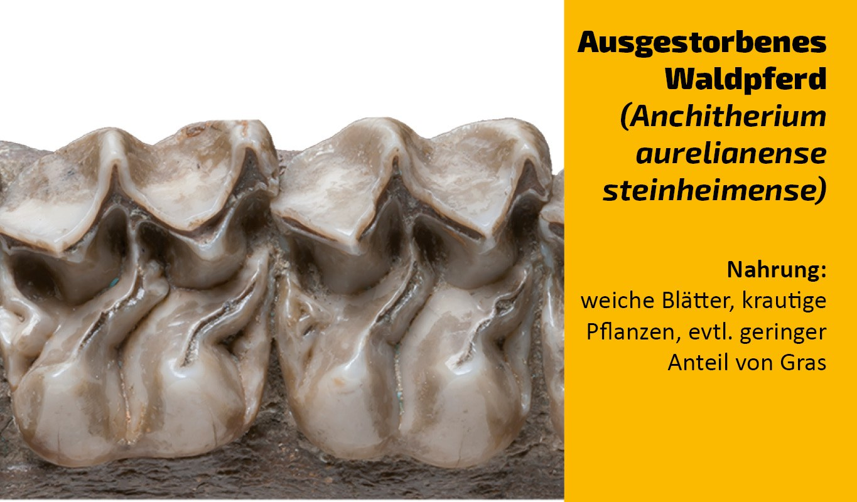 Zu welchem Tier gehört dieser Zahn (14)