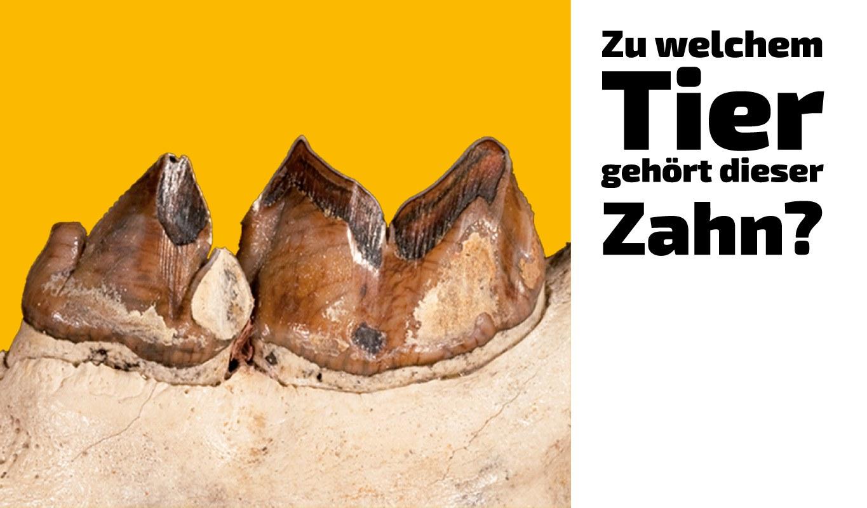 Zu welchem Tier gehört dieser Zahn (15)