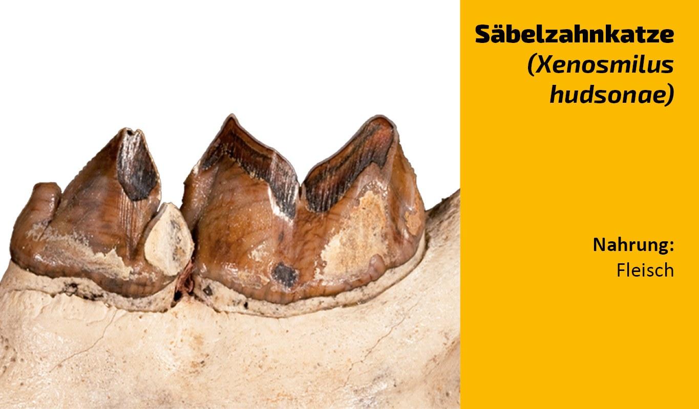 Zu welchem Tier gehört dieser Zahn (16)
