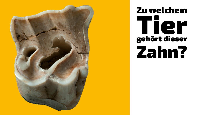 Zu welchem Tier gehört dieser Zahn (17)