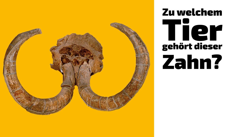 Zu welchem Tier gehört dieser Zahn (19)