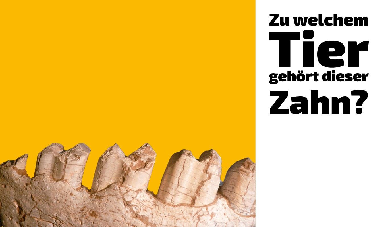 Zu welchem Tier gehört dieser Zahn (25)