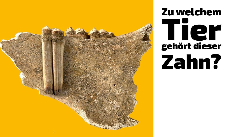 Zu welchem Tier gehört dieser Zahn (27)