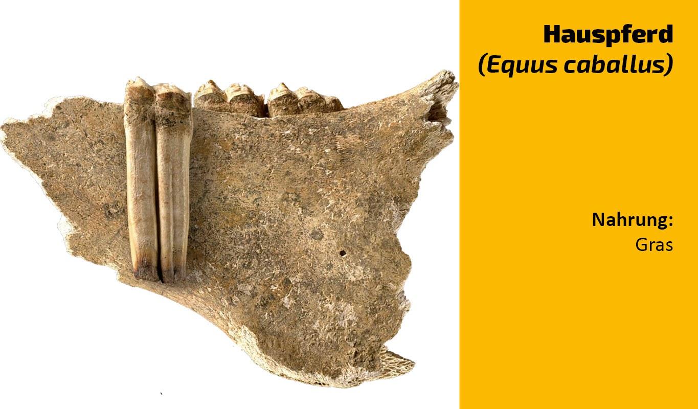 Zu welchem Tier gehört dieser Zahn (28)