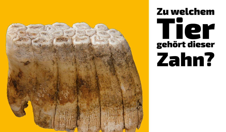 Zu welchem Tier gehört dieser Zahn (29)