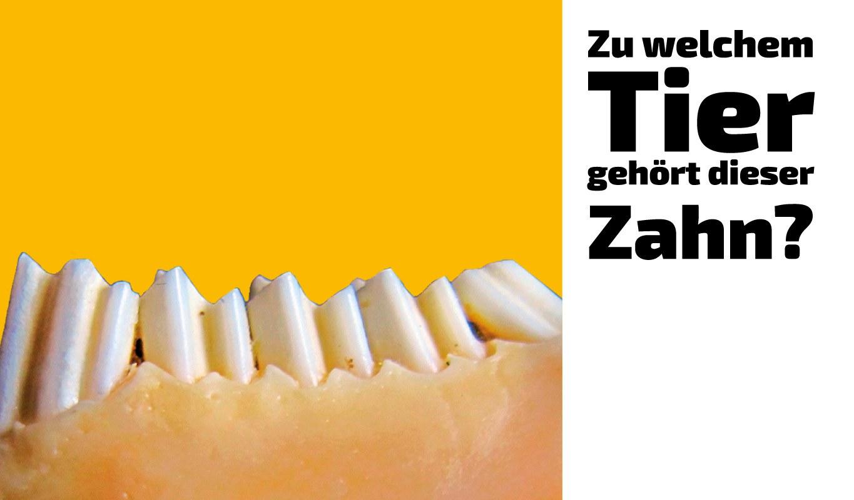 Zu welchem Tier gehört dieser Zahn (3)