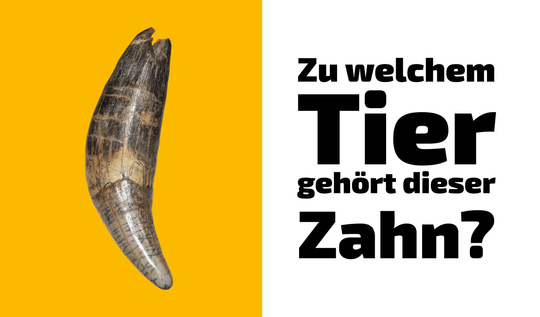 Zu welchem Tier gehört dieser Zahn (7)