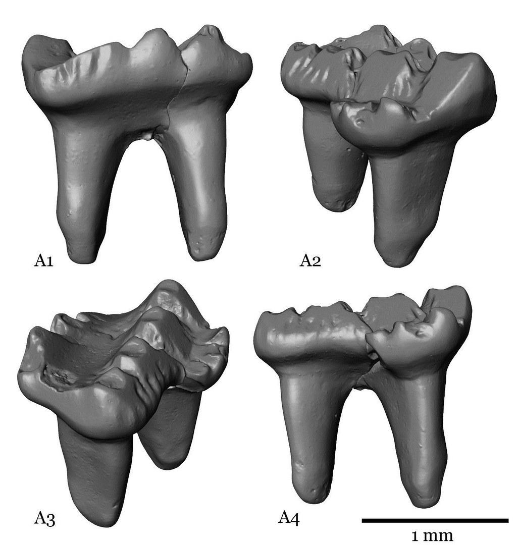 Die fossilen Zähne
