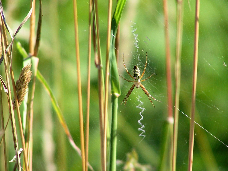 Bild Spinnen: Keuschheitsgürtel gegen Kuckuckskinder