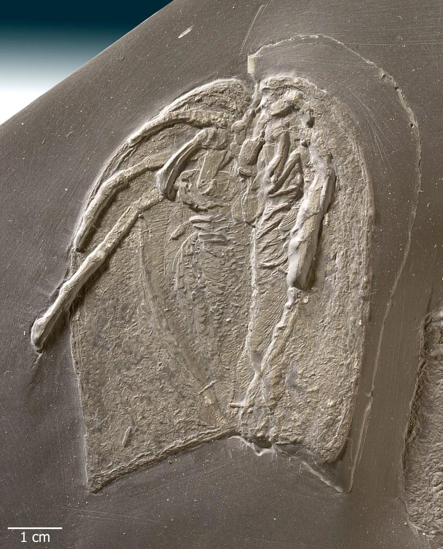 Bild Uraltes Gliedertier gibt bis heute Rätsel auf