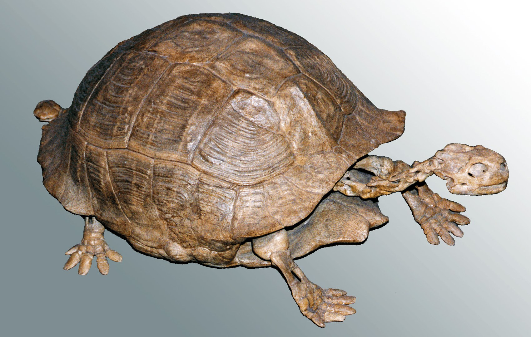 Bild Verräterische Panzer: Erste Schildkröten lebten an Land