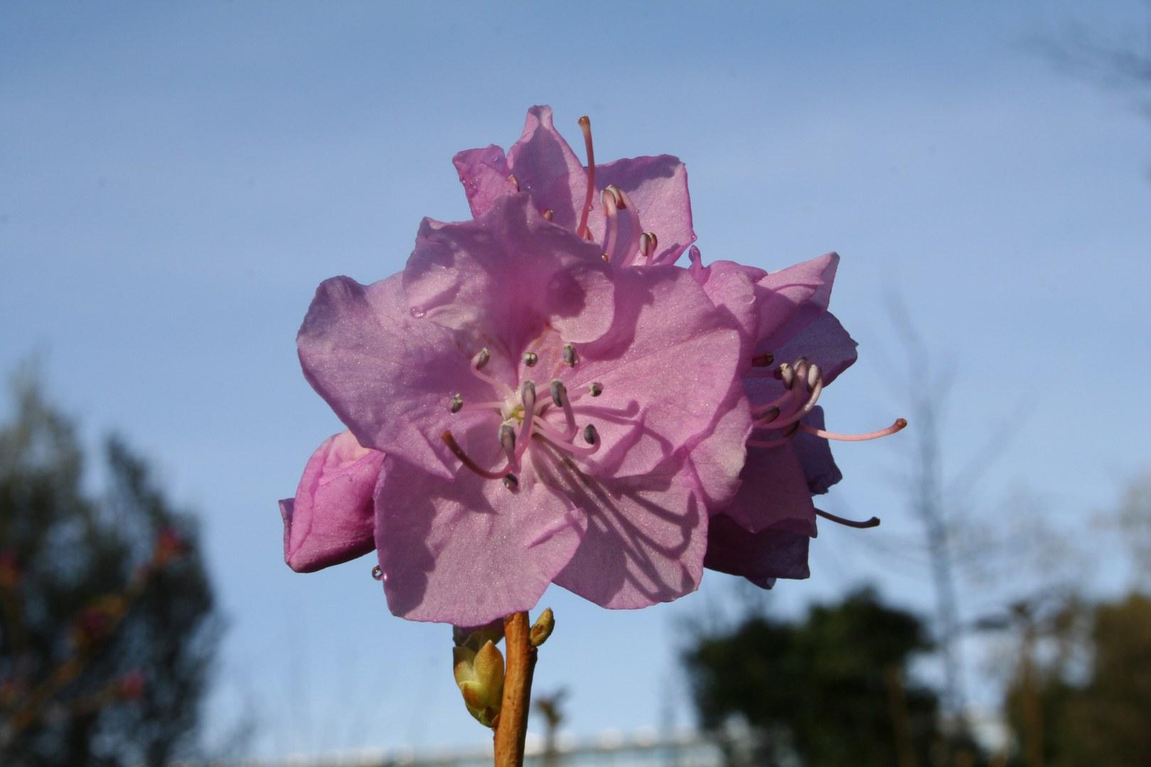 Bild Frühblühende Rhododendren bereiten sich auf Blüte vor