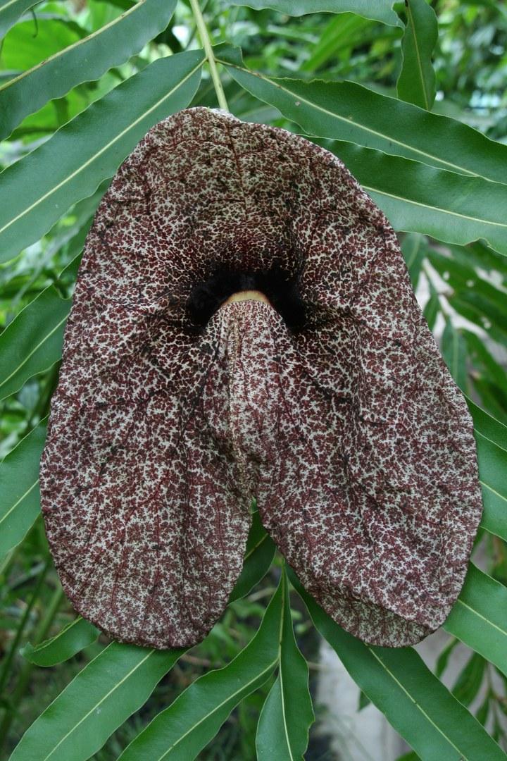 Blüte der Aristolochia gigantea. Foto: W. Lobin/Uni Bonn