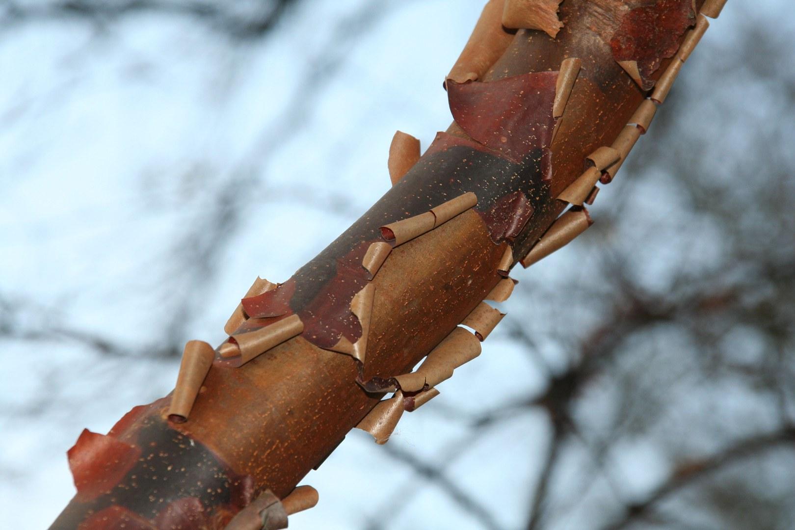 Acer griseus.jpg
