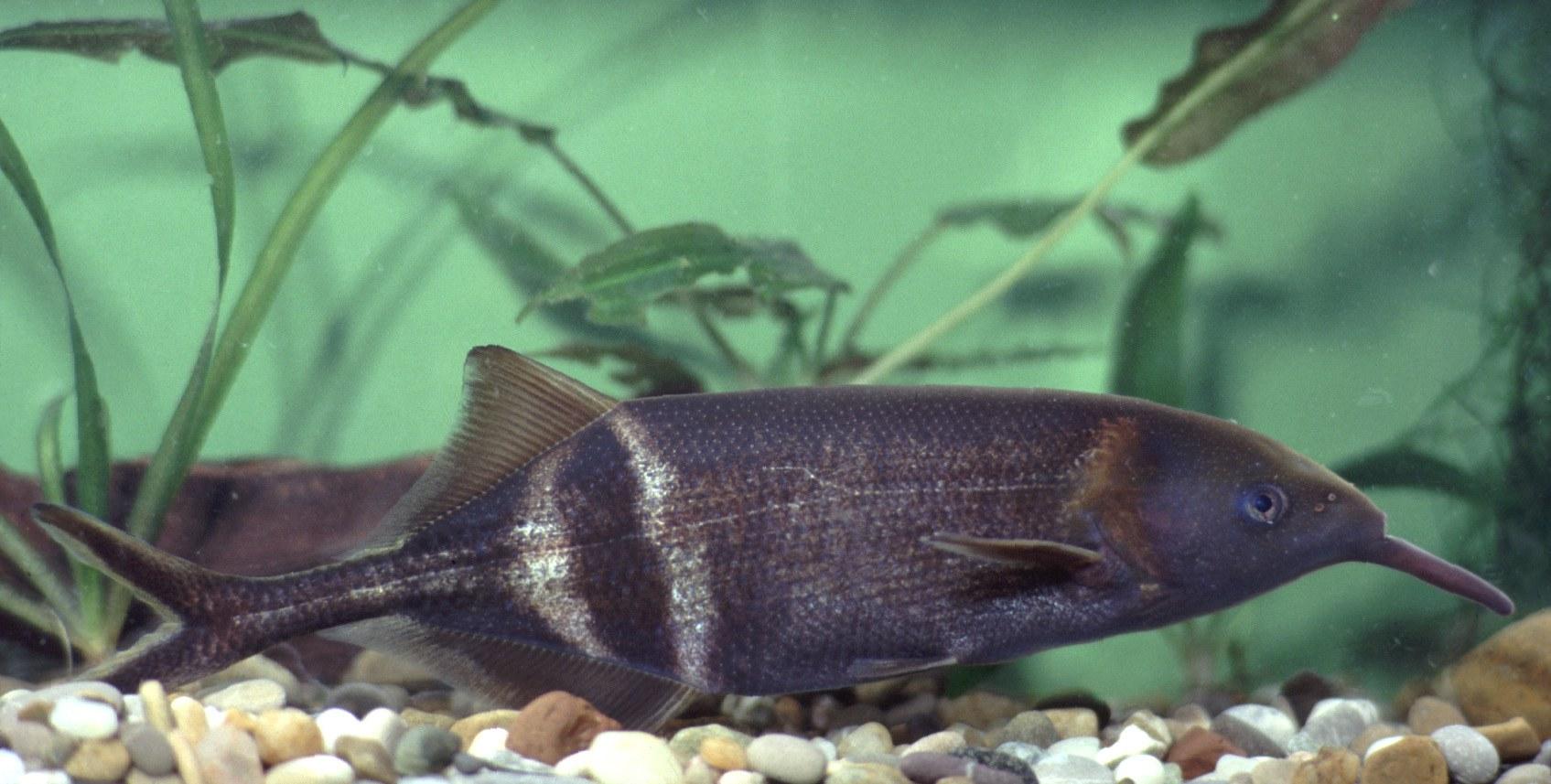 Bild Afrikanischer Fisch soll Herzkranken helfen