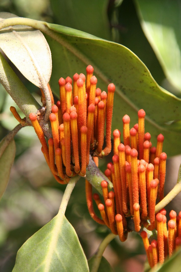 Phragmanterausuriensis.jpg