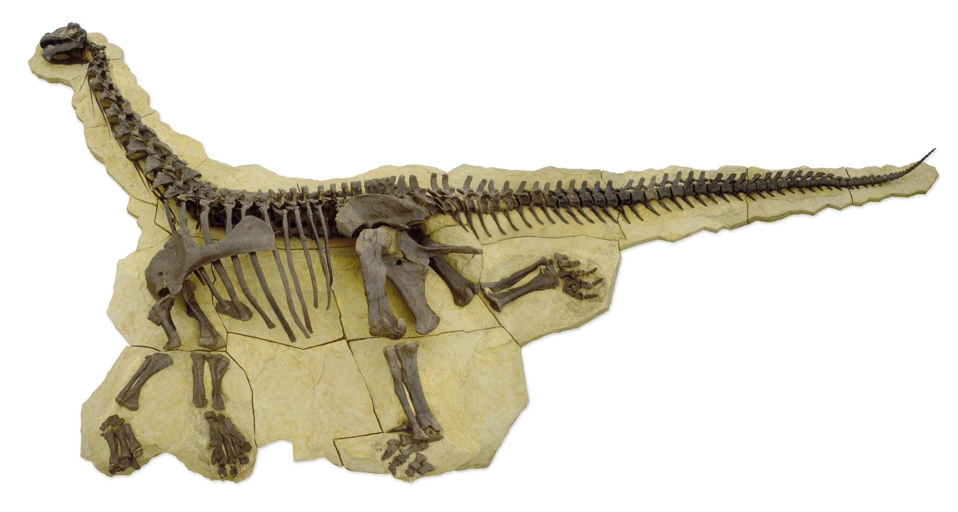 Das Dinosaurierskelett