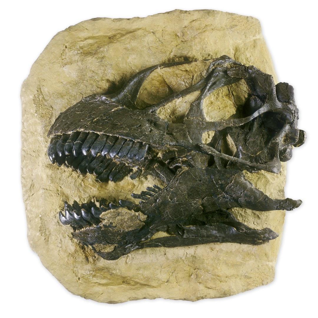 Schädel eines Camarasaurus