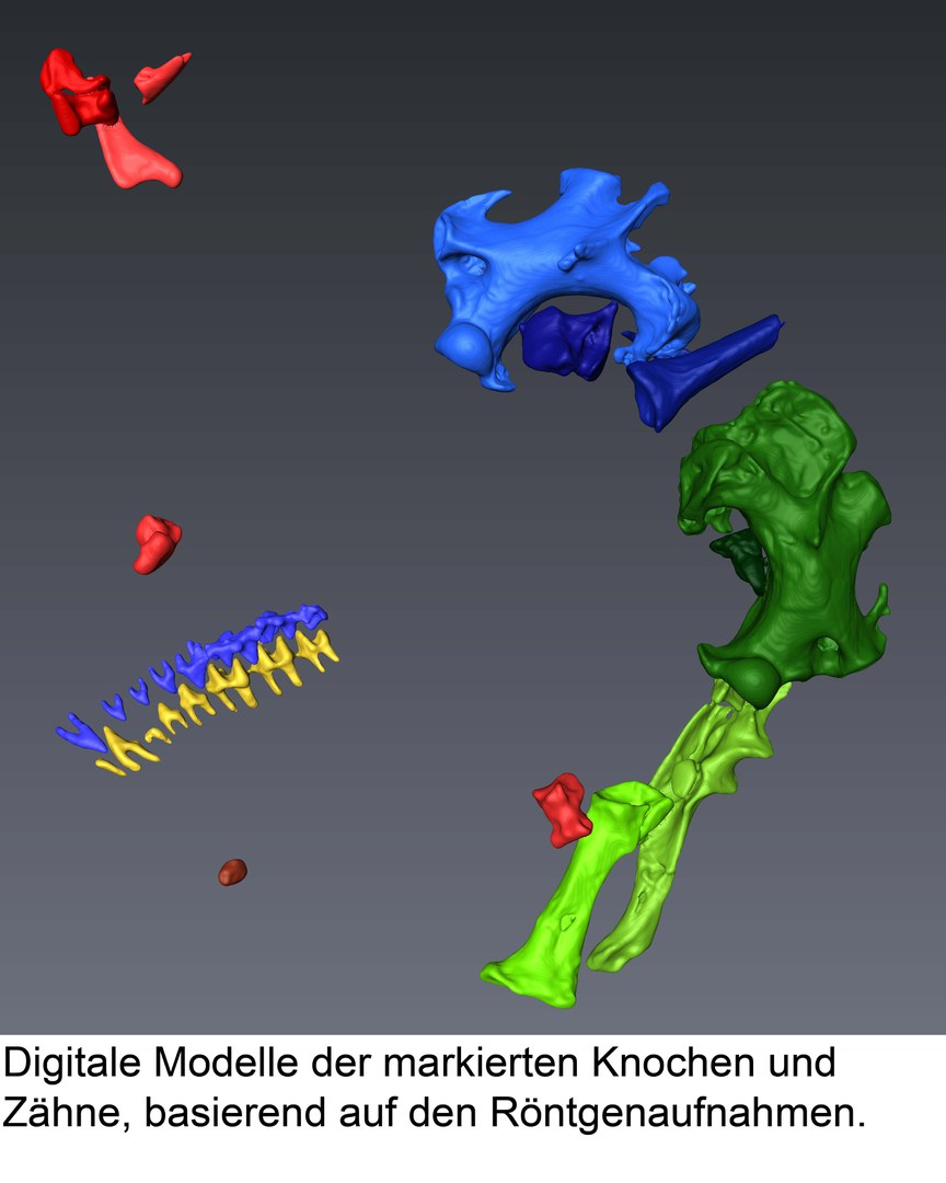 Digitalmodell der Knochen und Zähne: Die farbigen Darstellungen der Skeletteinzelteile basieren auf Röntgenaufnahmen.