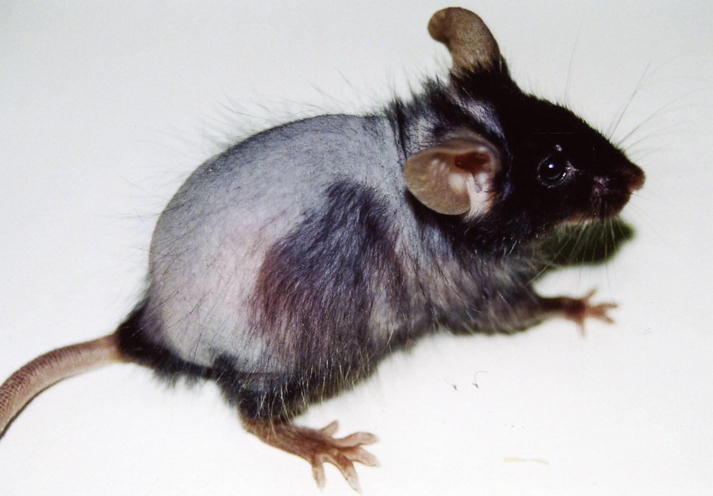 """Maus mit """"Glatze"""":"""