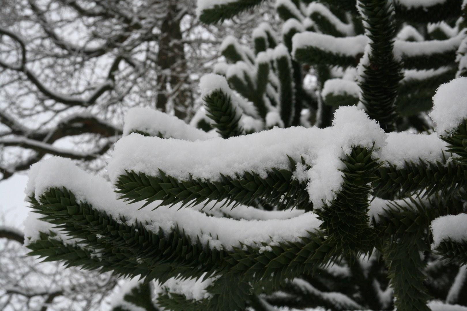 Araucaria araucana im Winter.jpg