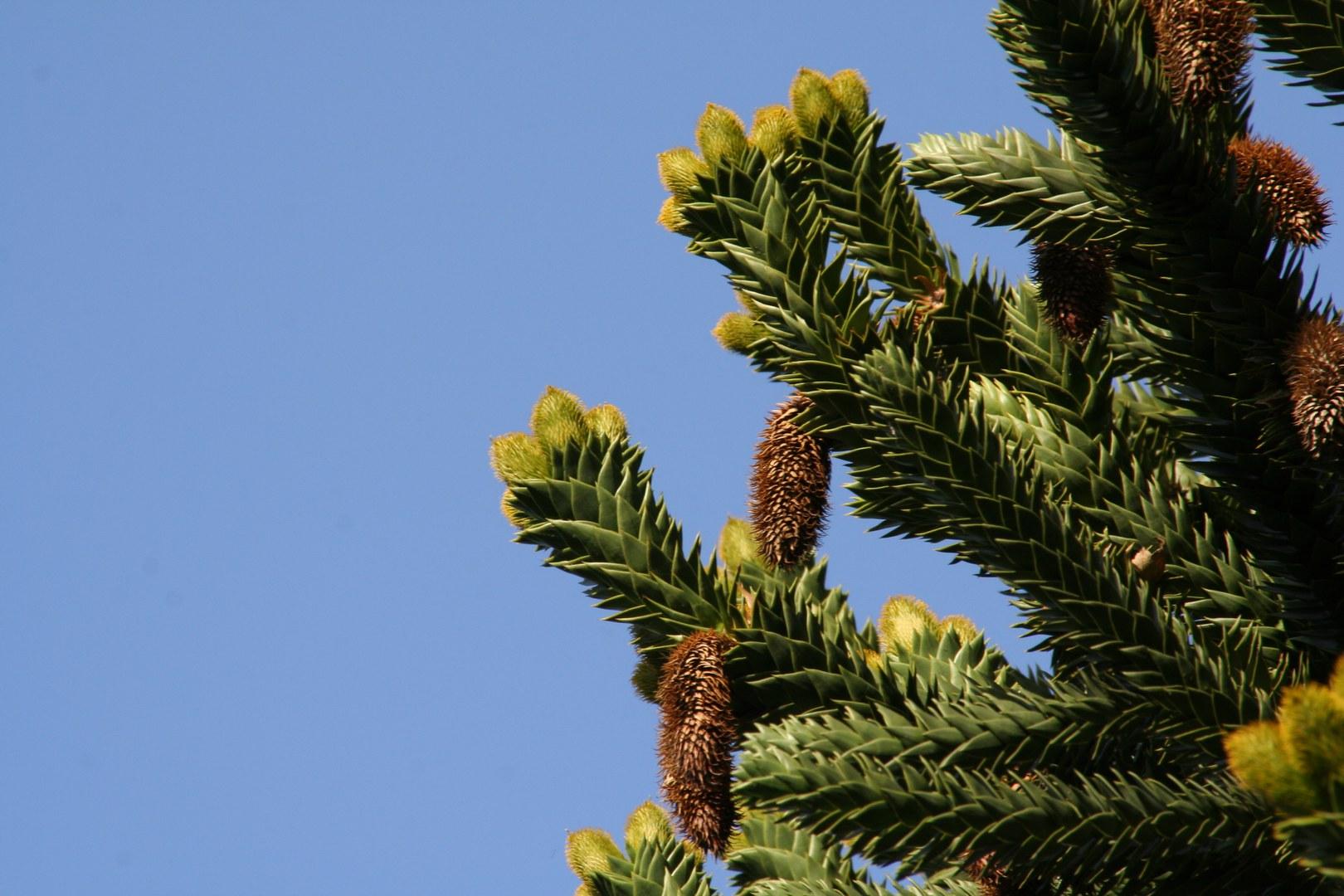 Araucaria araucana.jpg