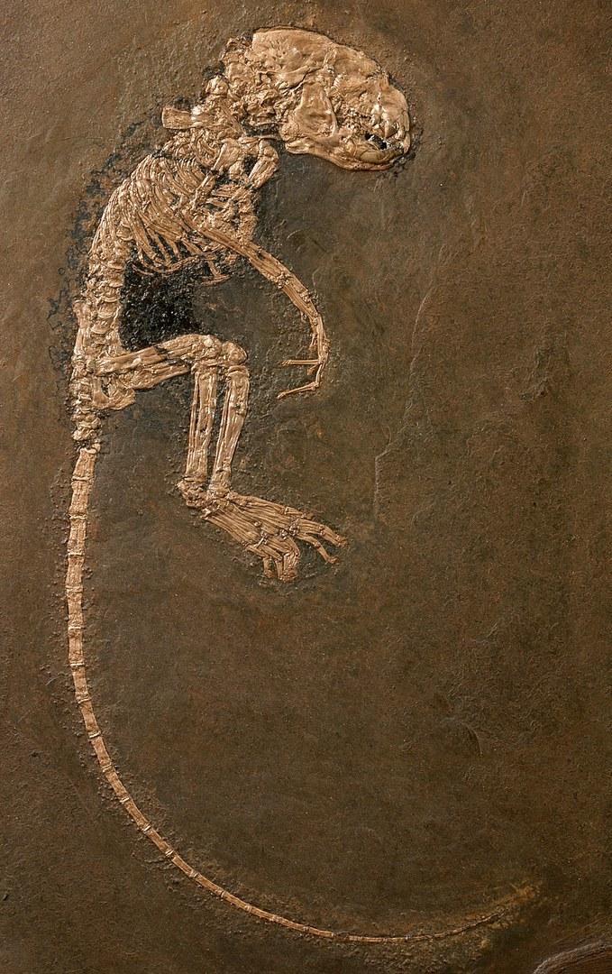Skelett des Fingertiers Heterohyus nanus: