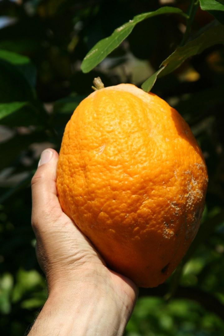 Citrus medica 2.jpg