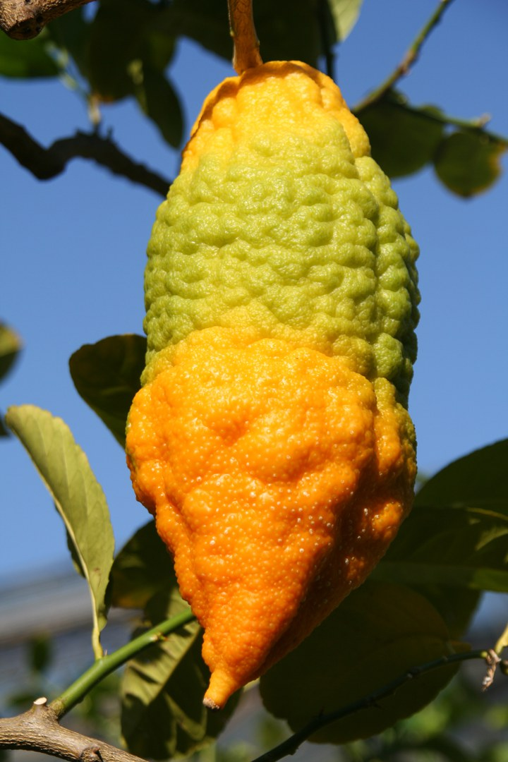 Citrus medica 3.jpg