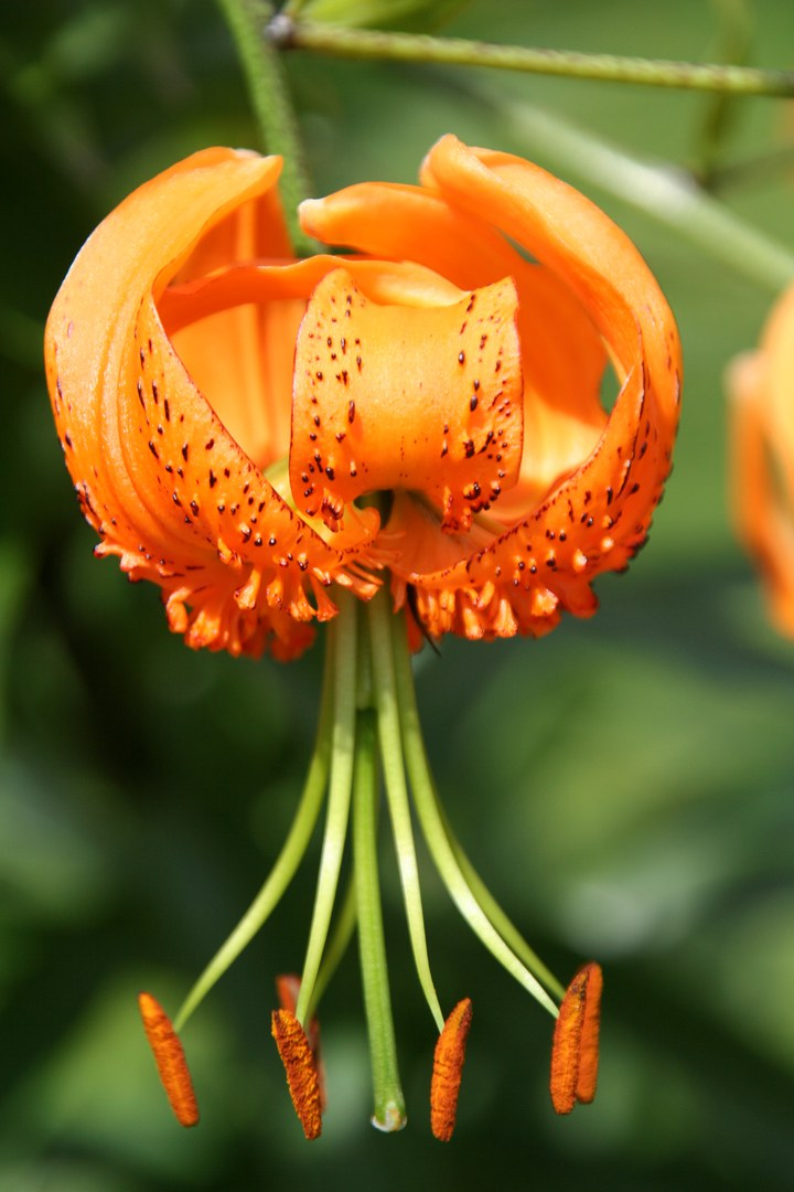 Lilium henryi.jpg