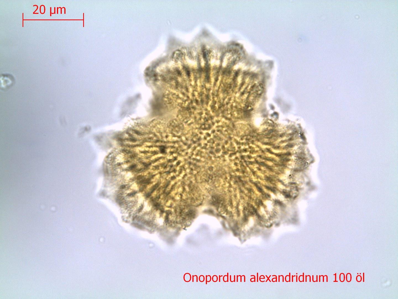 Pollen unter dem Durchlichtmikroskop:
