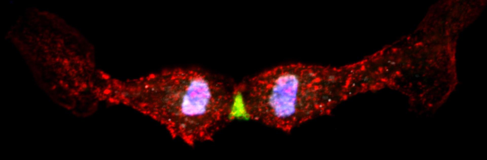 Abbildung einer sich teilenden embryonalen Herzmuskelzelle: