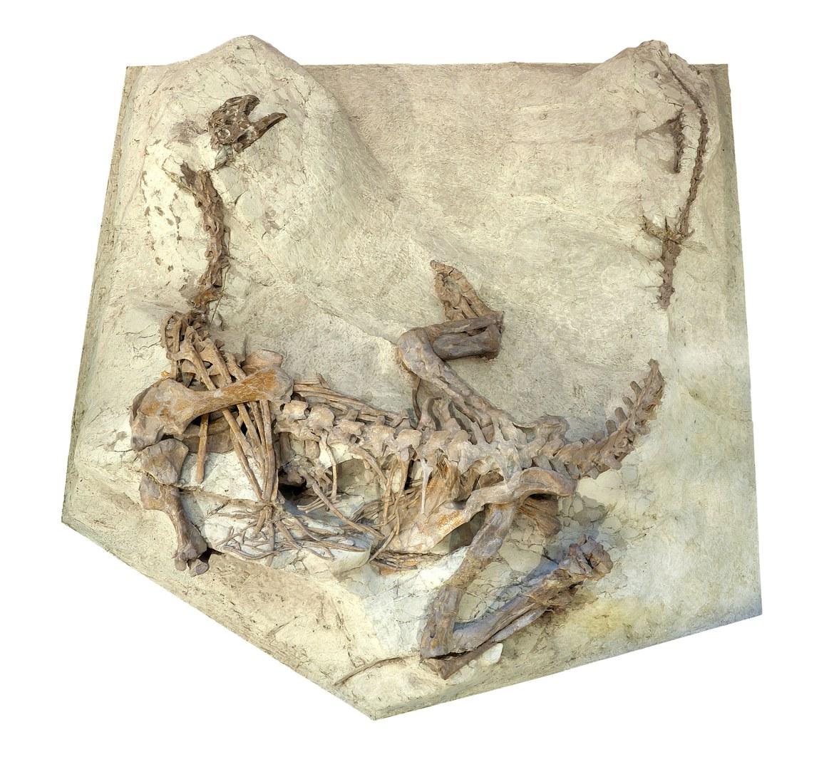 Das Skelett von Plateosaurus aus Frick