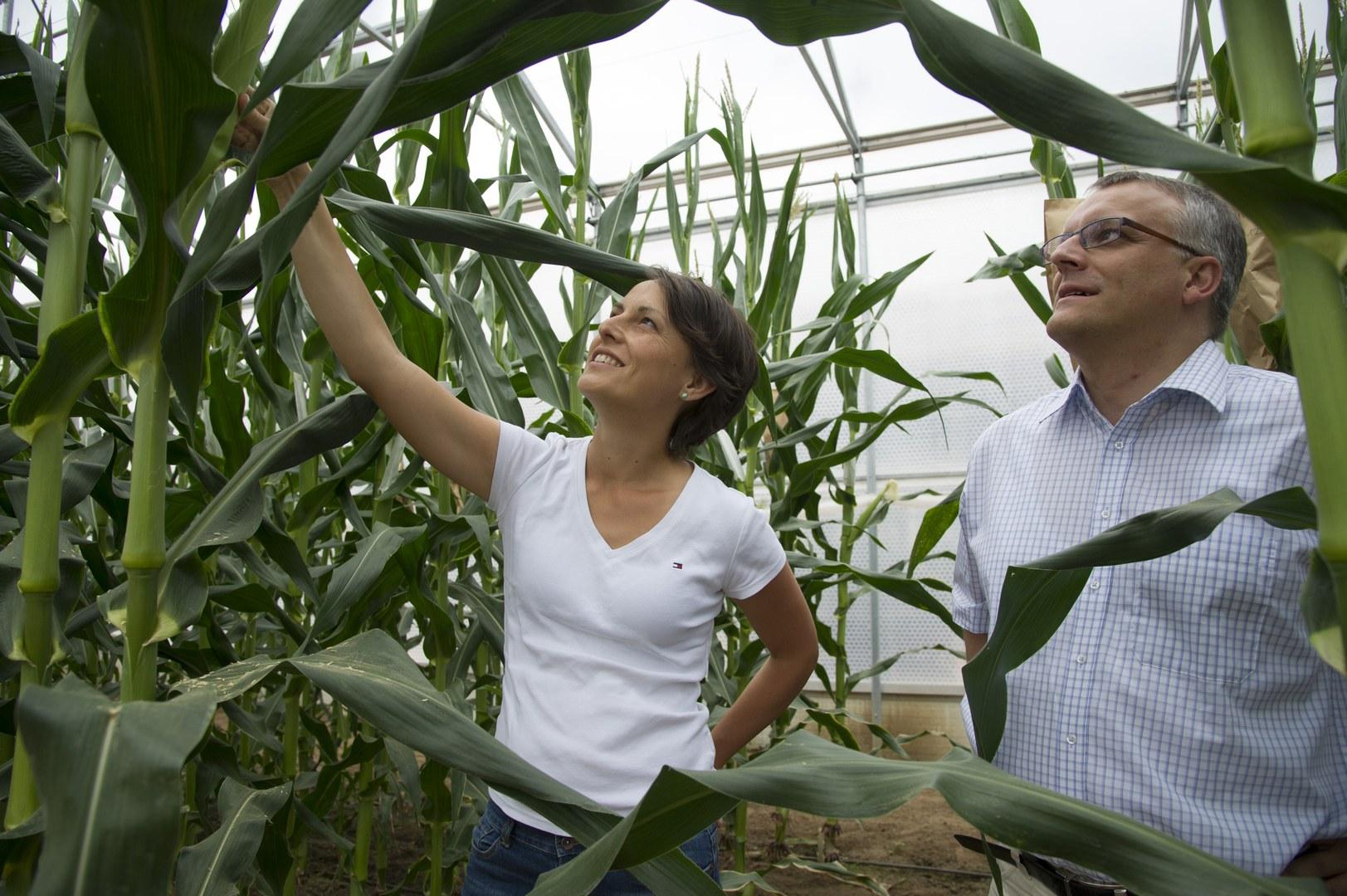 Untersuchen Maispflanzen