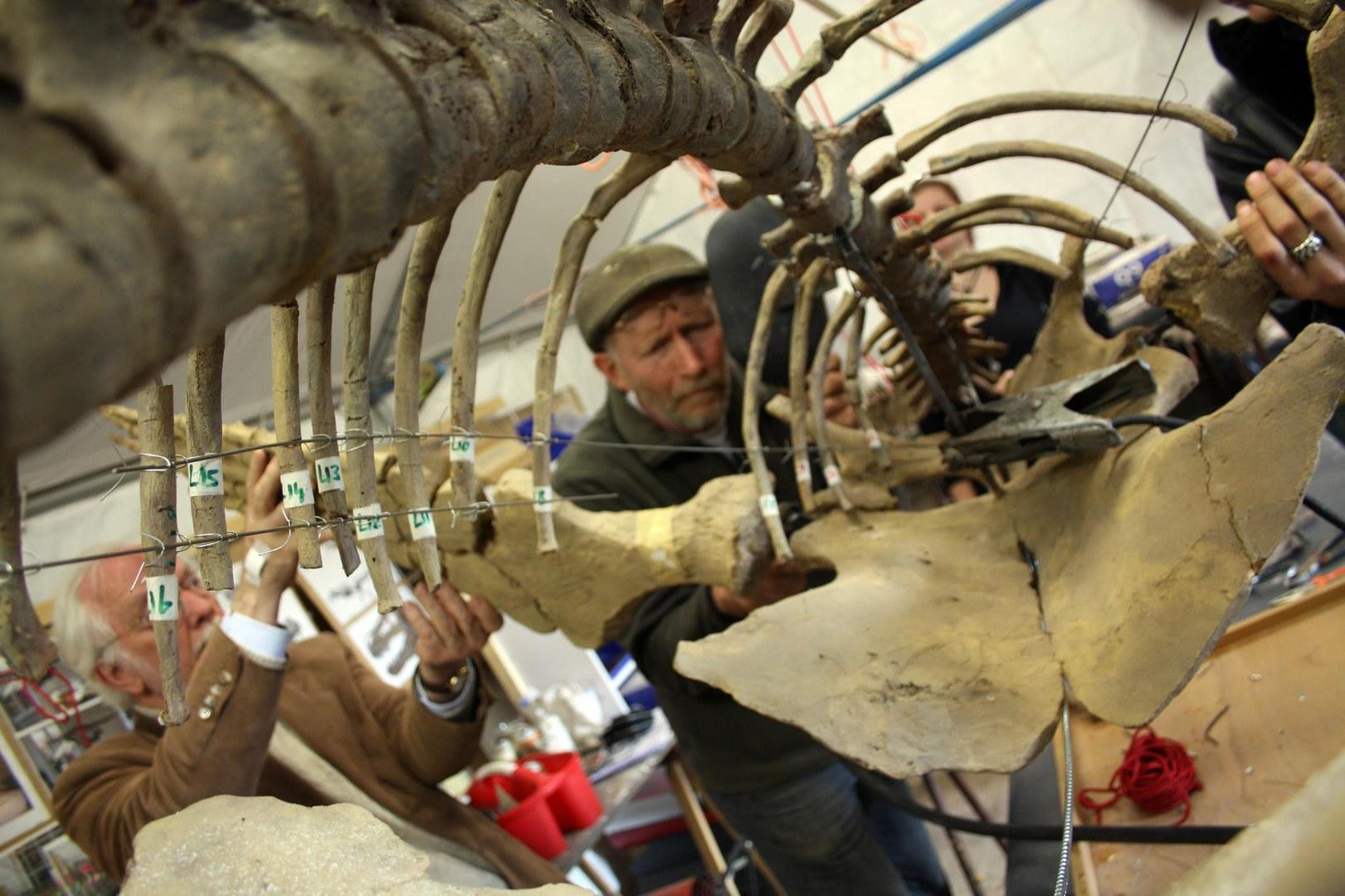 Plesiosaurier im Goldfuß-Museum