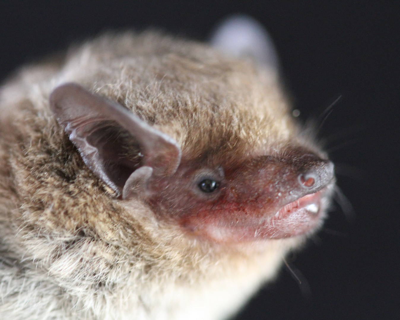 Fledermaus der Art Neoromicia cf. zuluensis: