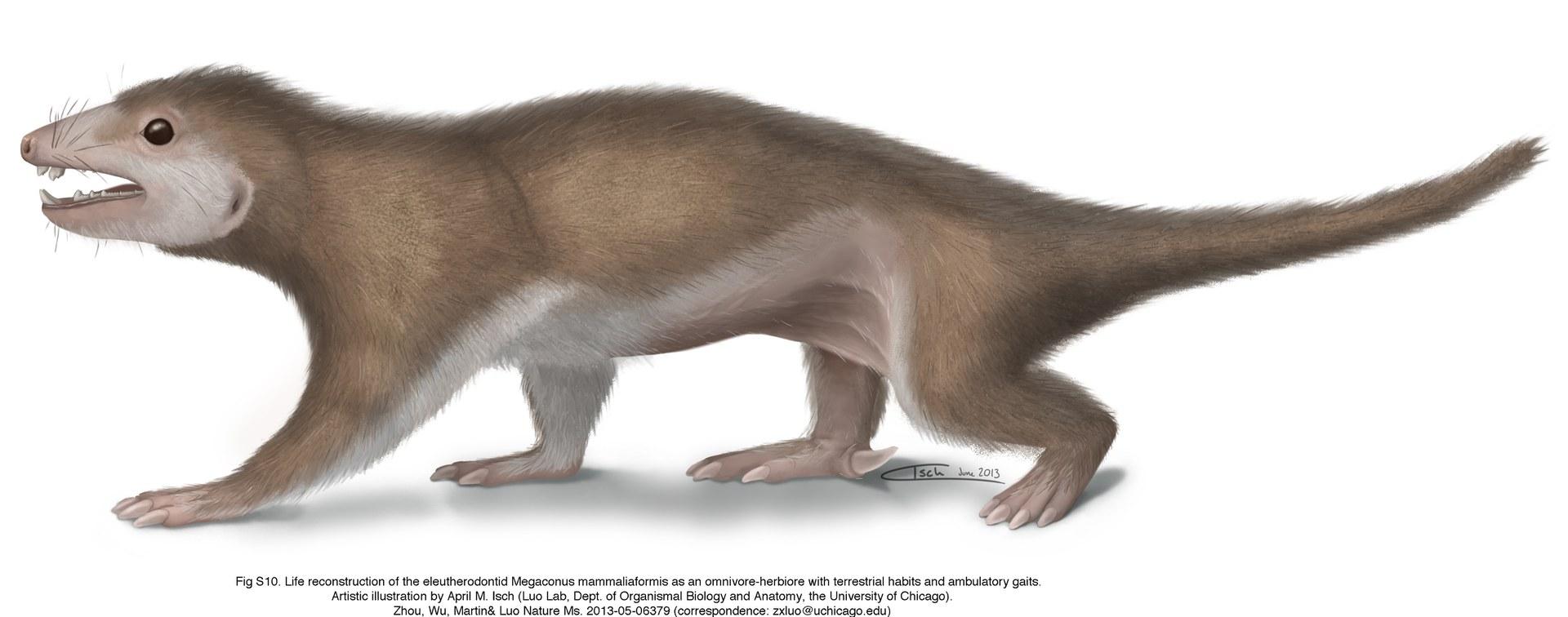 Megaconus mammaliaformis
