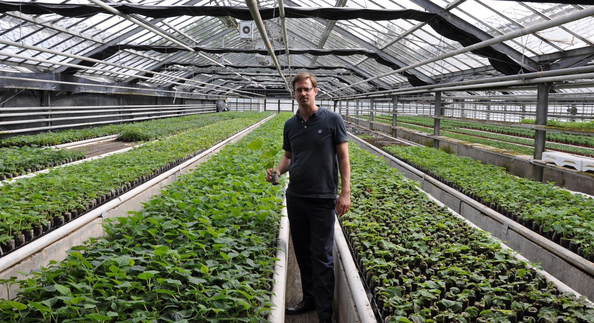 Die Kiri-Jungpflanzen werden in Gewächshäusern angezüchtet.