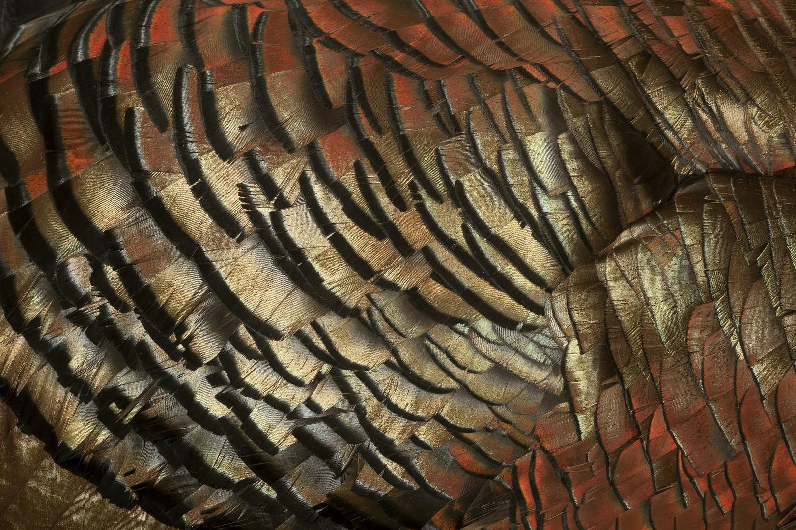 Großaufnahme des Brustgefieders eines männlichen Truthuhns (Meleagris gallopavo):